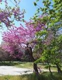 Άποψη άνοιξης του κήπου Όμορφα δέντρα κερασιών στο άνθος Στοκ εικόνες με δικαίωμα ελεύθερης χρήσης