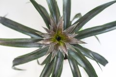 Άποψη άνωθεν σχετικά με τα φρούτα ενός juicy ώριμου ανανά σε έναν θάμνο με τα φύλλα σε ένα άσπρο υπόβαθρο Στοκ Εικόνες