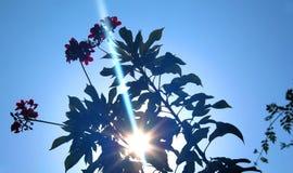 Άποψη ακτίνων ήλιων μέσω των πικάντικων λουλουδιών Jatropha με τα φύλλα Στοκ φωτογραφία με δικαίωμα ελεύθερης χρήσης