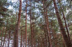 Άποψη από το κατώτατο σημείο του δάσους πεύκων Στοκ Εικόνες