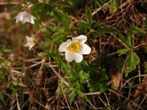Άποψη για να αναπηδήσει νωρίς τα λουλούδια στο δάσος, με τις μικρές σταγόνες βροχής Στοκ Εικόνες