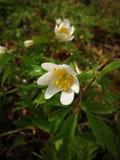 Άποψη για να αναπηδήσει νωρίς τα λουλούδια στο δάσος, με τις μικρές σταγόνες βροχής Στοκ φωτογραφία με δικαίωμα ελεύθερης χρήσης