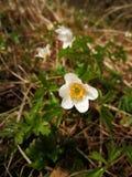 Άποψη για να αναπηδήσει νωρίς τα λουλούδια στο δάσος, με τις μικρές σταγόνες βροχής Στοκ φωτογραφίες με δικαίωμα ελεύθερης χρήσης