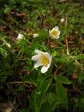 Άποψη για να αναπηδήσει νωρίς τα λουλούδια στο δάσος, με τις μικρές σταγόνες βροχής Στοκ εικόνα με δικαίωμα ελεύθερης χρήσης