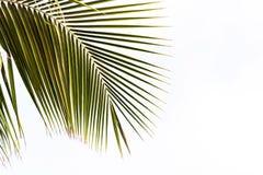 Άποψη ενός κλάδου φοινικών σε ένα άσπρο υπόβαθρο, Bayahibe, Λα Altagracia, Δομινικανή Δημοκρατία Διάστημα αντιγράφων για το κείμε Στοκ Εικόνες