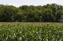 Άποψη ενός τομέα καλαμποκιού στοκ εικόνες με δικαίωμα ελεύθερης χρήσης