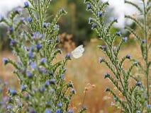 Άποψη λεπτομέρειας στην πεταλούδα λευκού λάχανων μεταξύ των μπλε θερινών λουλουδιών Στοκ Φωτογραφία