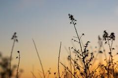 Άποψη ηλιοβασιλέματος με τις σκιαγραφίες των χορταριών και των εγκαταστάσεων στοκ εικόνες με δικαίωμα ελεύθερης χρήσης