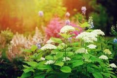 Άποψη θερινών κήπων τον Ιούνιο με την άνθιση θάμνων της Annabelle hydrangea Στοκ εικόνες με δικαίωμα ελεύθερης χρήσης