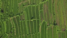 Άποψη κηφήνων φυτειών ρυζιού Πράσινη φυτεία ρυζιού στον τομέα επαρχίας στο ασιατικό του χωριού εναέριο τοπίο Καλλιέργεια και απόθεμα βίντεο