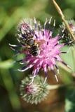 Άποψη κινηματογραφήσεων σε πρώτο πλάνο άνωθεν της καυκάσιας άσπρος-γκρίζας μέλισσας από Hymenopt στοκ φωτογραφίες