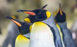 Άποψη κινηματογραφήσεων σε πρώτο πλάνο ενός βασιλιά penguin Στοκ φωτογραφίες με δικαίωμα ελεύθερης χρήσης