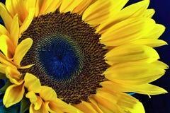 Άποψη κινηματογραφήσεων σε πρώτο πλάνο ενός λουλουδιού ηλίανθων στοκ εικόνες με δικαίωμα ελεύθερης χρήσης