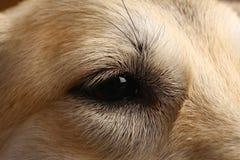 Άποψη κινηματογραφήσεων σε πρώτο πλάνο στο μάτι του σκυλιού στο στούντιο στο καφετί υπόβαθρο με το διάστημα αντιγράφων στοκ εικόνες