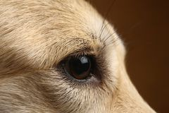 Άποψη κινηματογραφήσεων σε πρώτο πλάνο στο μάτι του σκυλιού στο στούντιο στο καφετί υπόβαθρο με το διάστημα αντιγράφων στοκ φωτογραφίες με δικαίωμα ελεύθερης χρήσης