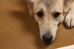 Άποψη κινηματογραφήσεων σε πρώτο πλάνο στο πρόσωπο του σκυλιού στο στούντιο στο καφετί υπόβαθρο με το διάστημα αντιγράφων στοκ εικόνες με δικαίωμα ελεύθερης χρήσης