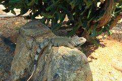 Άποψη κινηματογραφήσεων σε πρώτο πλάνο σχετικά με την πράσινη χαριτωμένη συνεδρίαση iguana στο βράχο Στοκ Φωτογραφίες