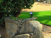 Άποψη κινηματογραφήσεων σε πρώτο πλάνο σχετικά με την πράσινη χαριτωμένη συνεδρίαση iguana στο βράχο Νησί της Αρούμπα στοκ εικόνα με δικαίωμα ελεύθερης χρήσης