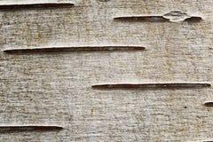 Άποψη κινηματογραφήσεων σε πρώτο πλάνο σύστασης σημύδων της δομής δέντρων στοκ εικόνα