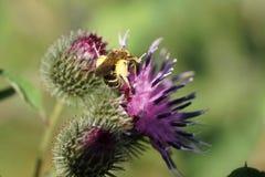 Άποψη κινηματογραφήσεων σε πρώτο πλάνο της χνουδωτής καυκάσιας άγριας μέλισσας Macropis fulvipes επάνω στοκ εικόνες