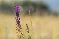Άποψη κινηματογραφήσεων σε πρώτο πλάνο του άνθους του comosa Leopoldia υάκινθων θυσάνων Στοκ Εικόνα