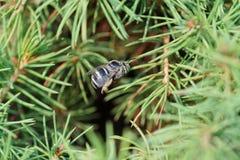 Άποψη κινηματογραφήσεων σε πρώτο πλάνο του καυκάσιου χνουδωτού γκρίζου albigena Amegilla μελισσών μέσα στοκ φωτογραφία