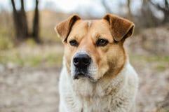 Άποψη κινηματογραφήσεων σε πρώτο πλάνο του μεγάλου κεφαλιού περιπλανώμενων σκυλιών με τα όμορφα μάτια που εξετάζουν τη κάμερα Στοκ εικόνες με δικαίωμα ελεύθερης χρήσης
