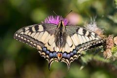 Άποψη κινηματογραφήσεων σε πρώτο πλάνο του Παλαιού Κόσμου swallowtail Papilio machaon Στοκ Φωτογραφίες