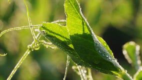 Άποψη κινηματογραφήσεων σε πρώτο πλάνο του φύλλου φυτών μπιζελιών με τις πτώσεις της δροσιάς το ηλιόλουστο πρωί φιλμ μικρού μήκους