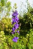 Άποψη κινηματογραφήσεων σε πρώτο πλάνο του όμορφου ιώδους λουλουδιού στον κήπο σε μια ηλιόλουστη θερινή ημέρα στοκ εικόνες