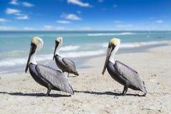 Άποψη κινηματογραφήσεων σε πρώτο πλάνο τριών πελεκάνων σε μια ωκεάνια παραλία στην Κούβα, το όμορφους νερό και τον ουρανό Θολωμέν στοκ εικόνα με δικαίωμα ελεύθερης χρήσης