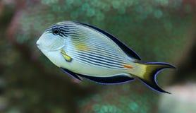 Άποψη κινηματογραφήσεων σε πρώτο πλάνο ενός Sohal surgeonfish Στοκ εικόνα με δικαίωμα ελεύθερης χρήσης