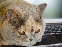 Άποψη κινηματογραφήσεων σε πρώτο πλάνο μιας βρετανικής γάτας που βρίσκεται και που στηρίζεται σε ένα lap-top Στοκ φωτογραφίες με δικαίωμα ελεύθερης χρήσης