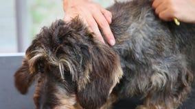 Άποψη κινηματογραφήσεων σε πρώτο πλάνο της τακτοποίησης της περιστροφής του σκυλιού απόθεμα βίντεο