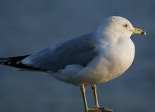 Άποψη κινηματογραφήσεων σε πρώτο πλάνο seagull στοκ φωτογραφίες
