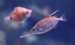 Άποψη κινηματογραφήσεων σε πρώτο πλάνο snipefish Longspine Στοκ Εικόνα