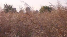 Άποψη λεπτομέρειας spikelets καλάμων ενάντια στα κτήρια πόλεων απόθεμα βίντεο