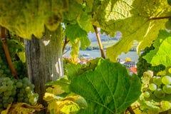 Άποψη μέσω της αμπέλου Στοκ Φωτογραφία