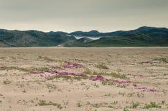 Άποψη μέσω της κοιλάδας ερήμων Sandflugtdalen προς τα βουνά και Greenlandic icecap, ρόδινα λουλούδια στη μέση στοκ εικόνες