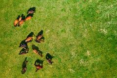 Άποψη ματιών πουλιών των αλόγων που βόσκουν στο λιβάδι στοκ εικόνες με δικαίωμα ελεύθερης χρήσης