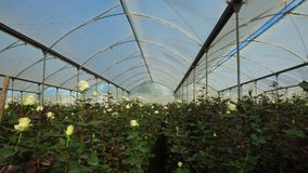 Άποψη μιας φυτείας των άσπρων τριαντάφυλλων με τους μακροχρόνιους μίσχους μέσα σε ένα θερμοκήπιο Στοκ Εικόνα