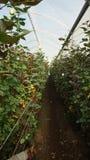 Άποψη μιας φυτείας των άσπρων τριαντάφυλλων με τους μακροχρόνιους μίσχους μέσα σε ένα θερμοκήπιο Στοκ φωτογραφία με δικαίωμα ελεύθερης χρήσης