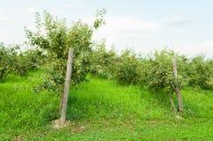 Άποψη οπωρώνων της Apple με τα fruity δέντρα έξω Στοκ Εικόνες