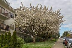Άποψη οδών με το δέντρο ανθών κερασιών, λουλούδια sakura Στοκ φωτογραφία με δικαίωμα ελεύθερης χρήσης