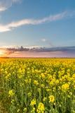 Άποψη πέρα από τον τομέα συναπόσπορων με τις κίτρινες ανθίσεις με τα σύννεφα θύελλας Στοκ Εικόνα