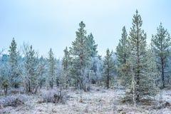 Άποψη παγωμένης της πτώσης pinetree δασικής τα τέλη στοκ εικόνες με δικαίωμα ελεύθερης χρήσης