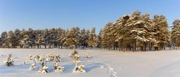 Άποψη προς το δασικό χειμώνα πεύκων Στοκ εικόνα με δικαίωμα ελεύθερης χρήσης