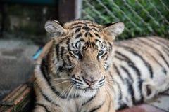 Άποψη προσώπου μιας τίγρης στοκ φωτογραφία