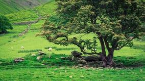 Άποψη στα sheeps στο λιβάδι με το μεγάλο δέντρο στη λίμνη περιοχής Στοκ φωτογραφίες με δικαίωμα ελεύθερης χρήσης