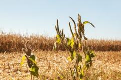 Άποψη στεγνωμένο cornfield στοκ φωτογραφία